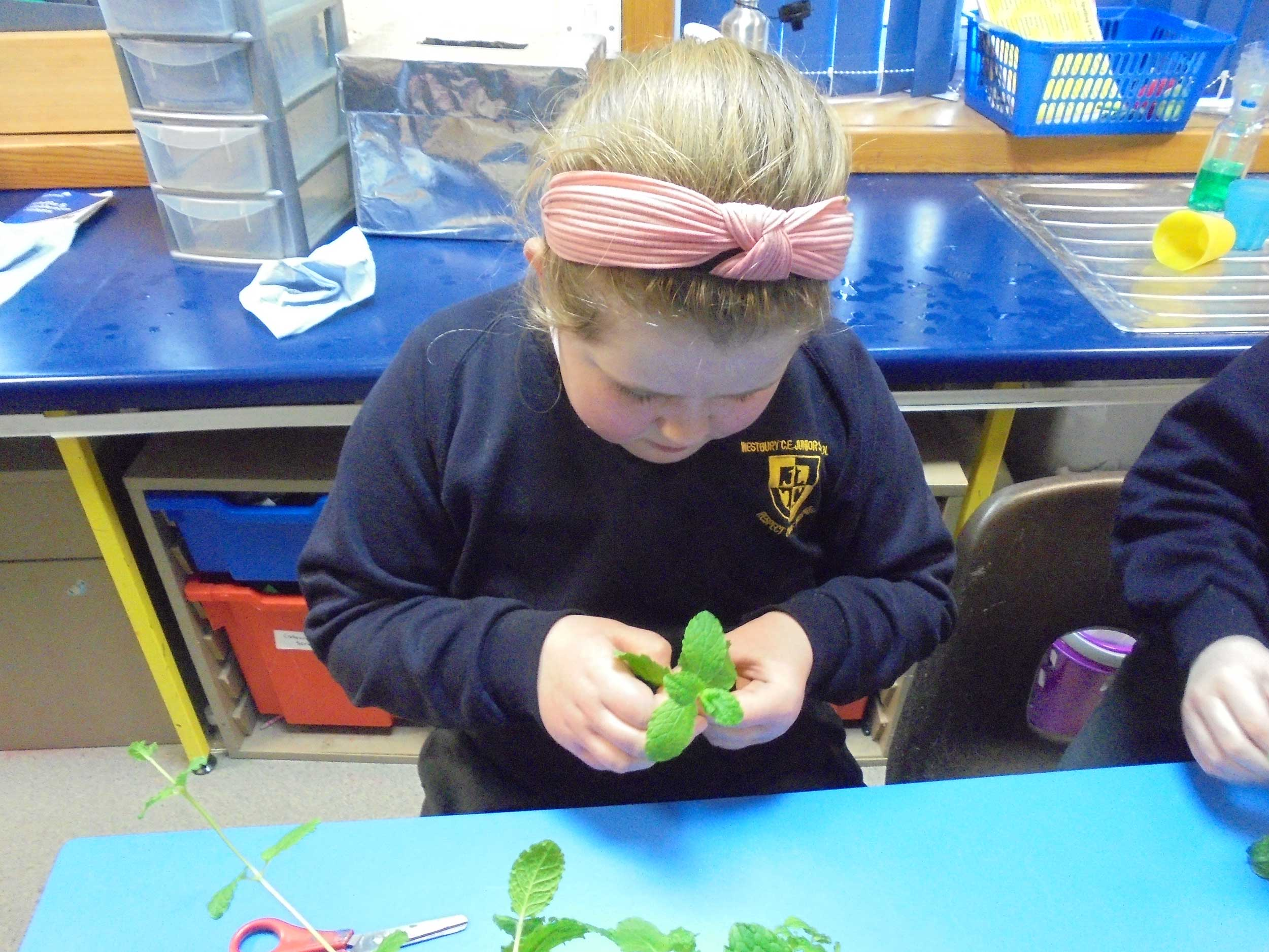 Year 5 Classes. We took cuttings of mint plants in Science as part of our work on the different ways plants reproduce.