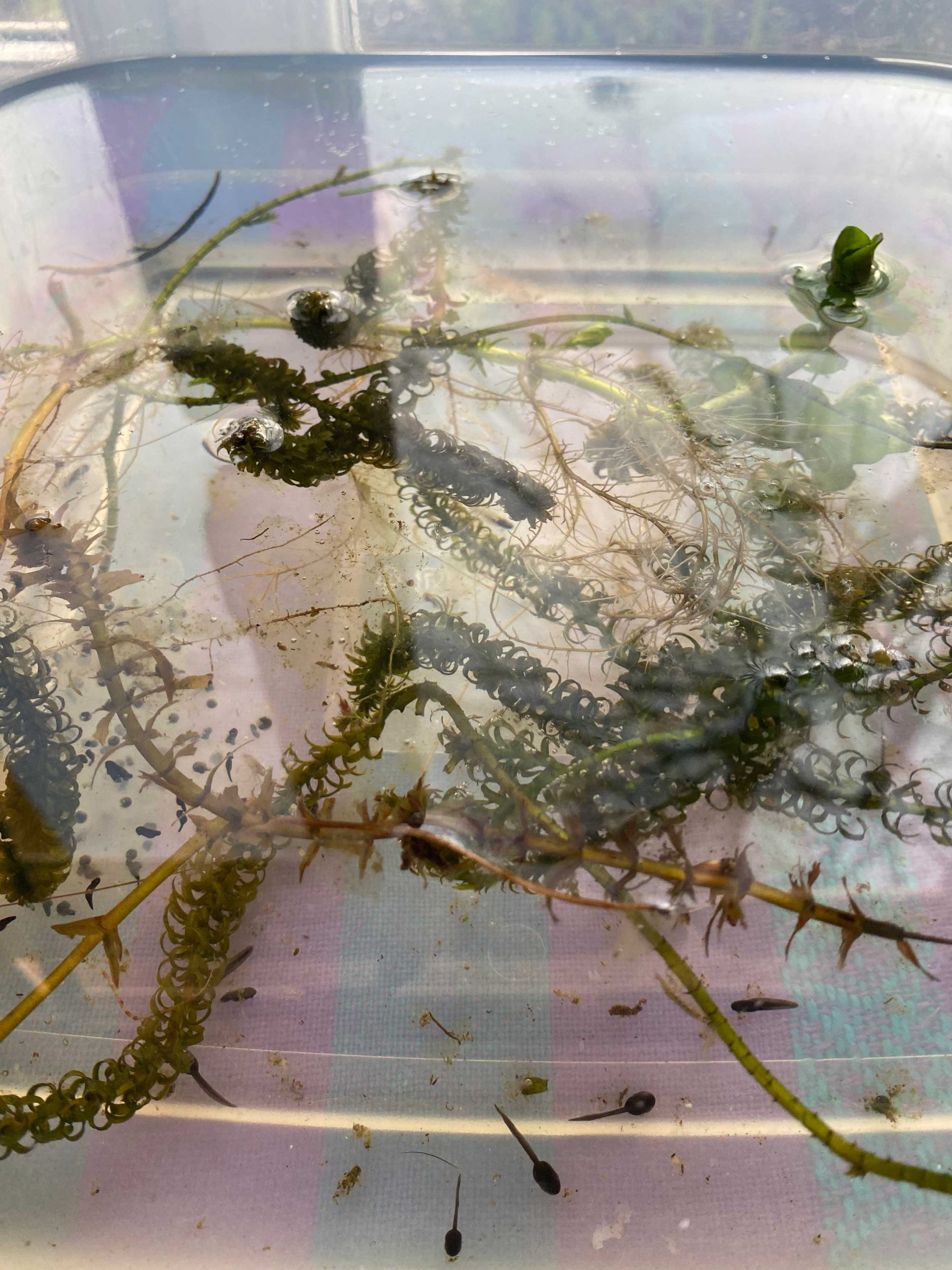 Year 3 Our newest members of the class are settling in well! After finding some local frog spawn, we are all enjoying watching them grow.